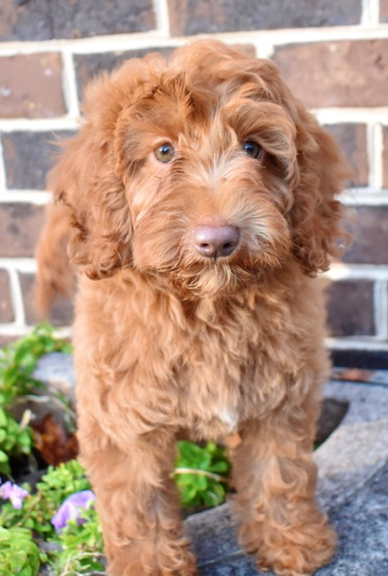 Australian Labradoodle Breeder & Puppies For Sale in