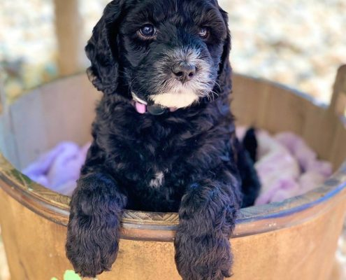 Australian Labradoodle Breeder in California
