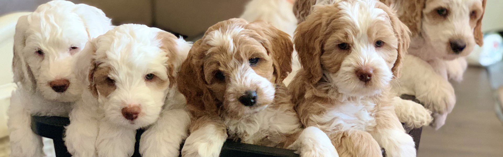 Australian Labradoodle Breeder Puppies For Sale In